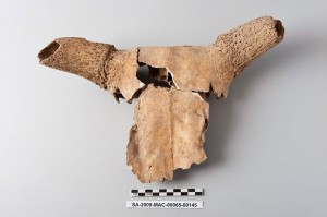 Cattle skull that, together with three other cattle skulls and much more material, was used to block a channel at the Macellum