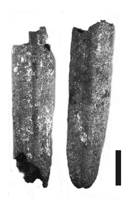 Leaves of fir (Abies cilicica) – DA1, locus  98, scale 1 mm