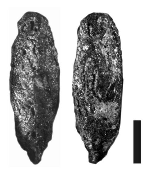 Fruit of cf. Lalemantia – TD2, locus  48-53, scale 1 mm